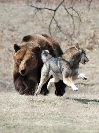 wolfbear
